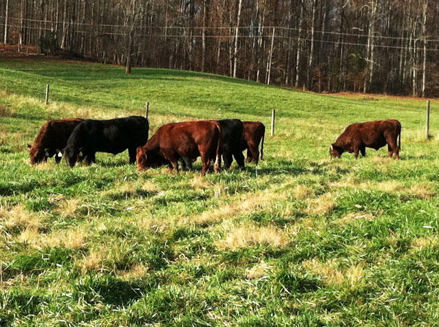 cows grazing fields in Virginia