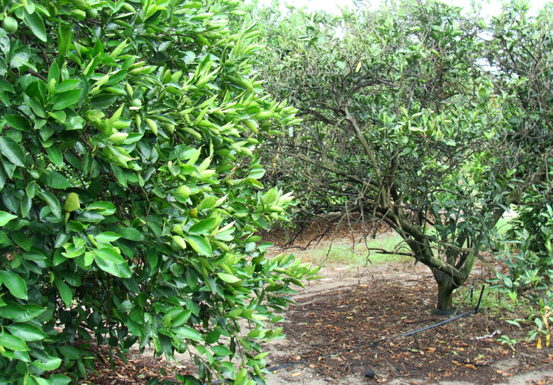 healthy and unhealthy citrus trees compared in Florida