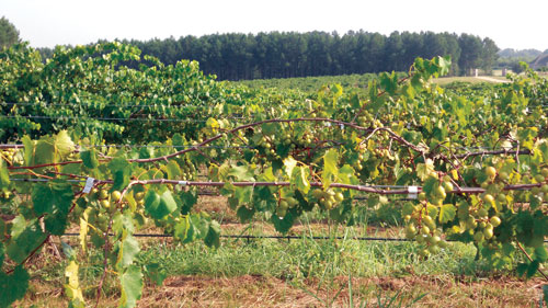 Mississippi muscadine vines treated with conventional fertilizer