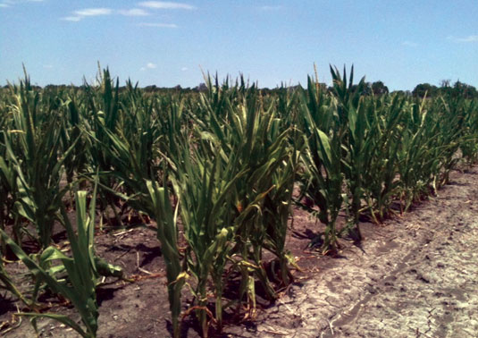 corn in Texas treated with conventional fertilizer