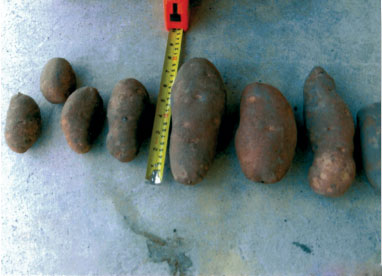 SumaGrow treated potatoes compared with untreated potatoes