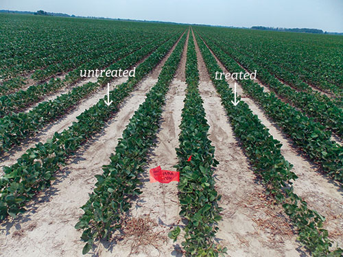 field of SumaGrow treated soybeans combared with untreated soybeans grown using conventional fertilizer