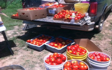 SumaGrow treated tomatoes produce large crop